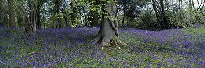 bluebells in ashdown forest